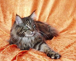 Black Tabby Maine Coon cat. Photo courtesy of Wikimedia.
